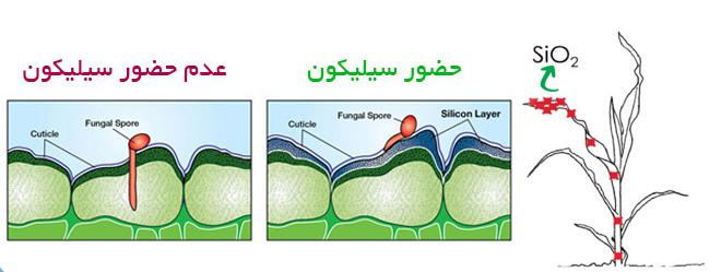 کنترل قارچ با سیلیکون