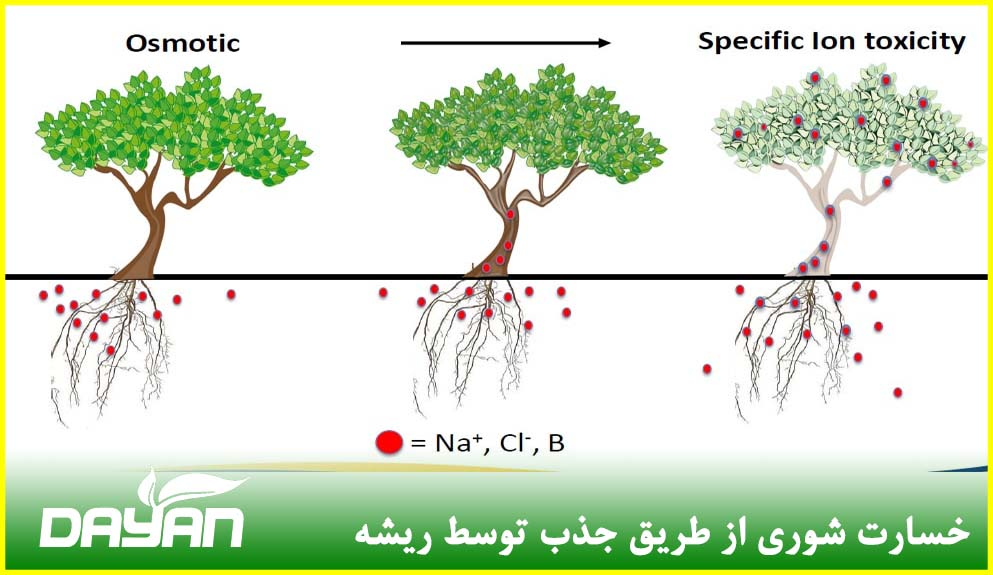 خسارت شوری از طریق جذب توسط ریشه