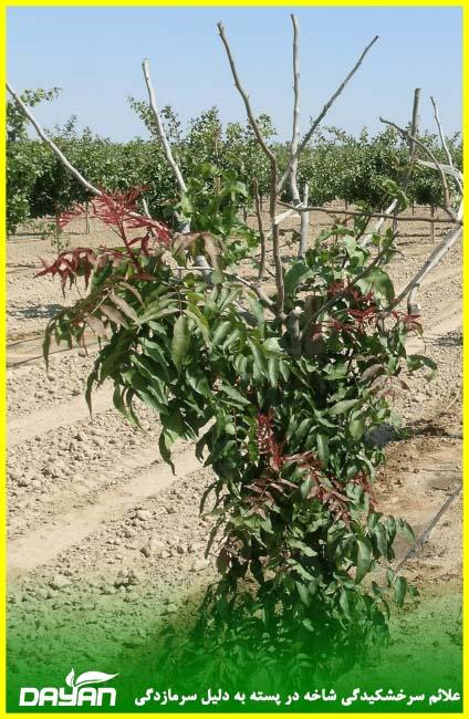 علائم سرخشکیدگی شاخه در پسته به دلیل سرمازدگی