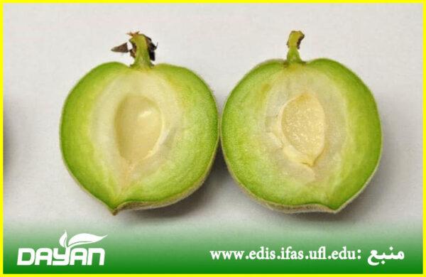 مرحله رشد سریع میوه و بزرگ شدن سلولها